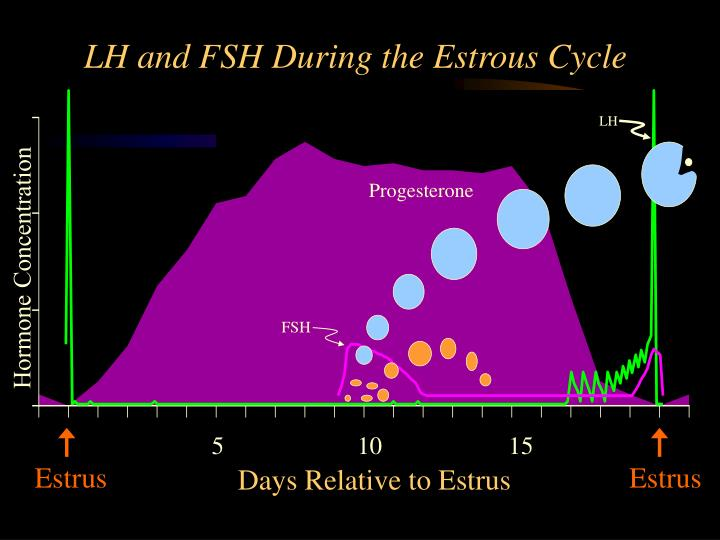 Lh and fsh during the estrous cycle