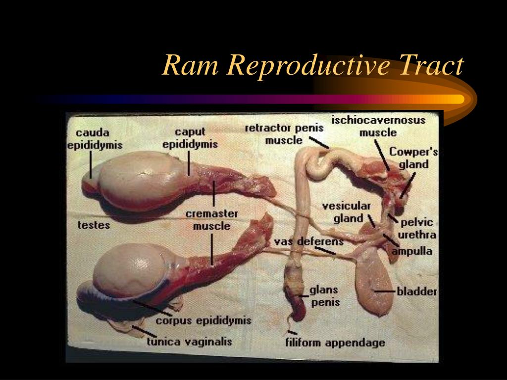 Ram Reproductive Tract