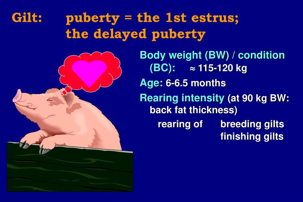 Gilt: puberty = the 1st estrus;