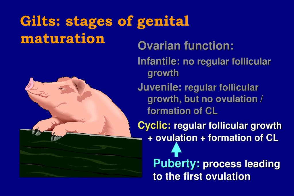 Gilts: stages of genital maturation