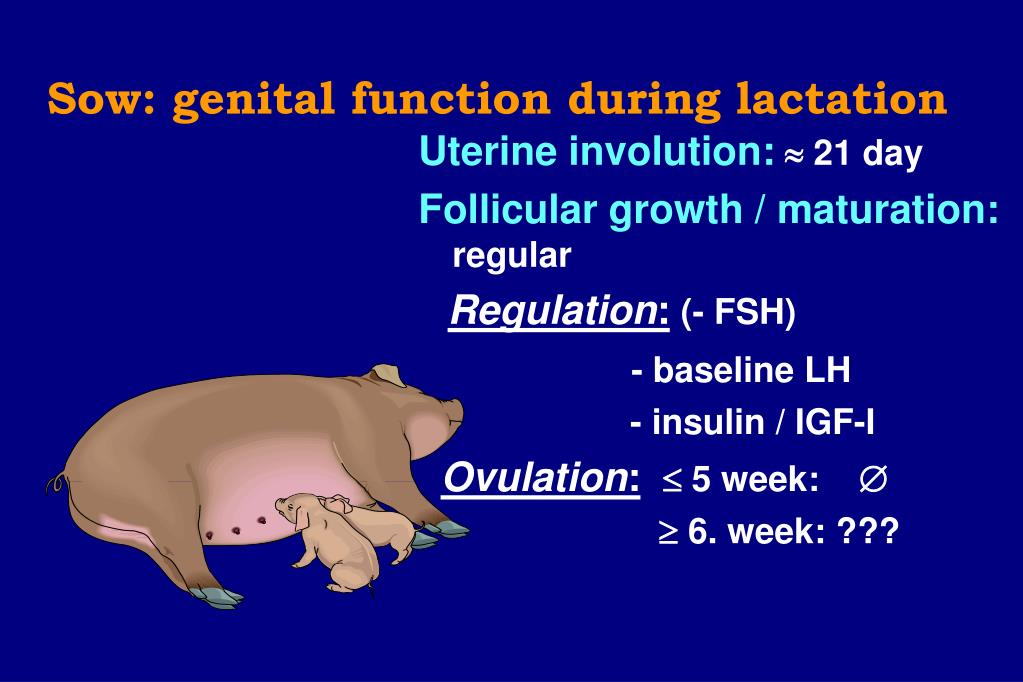 Sow: genital function during lactation