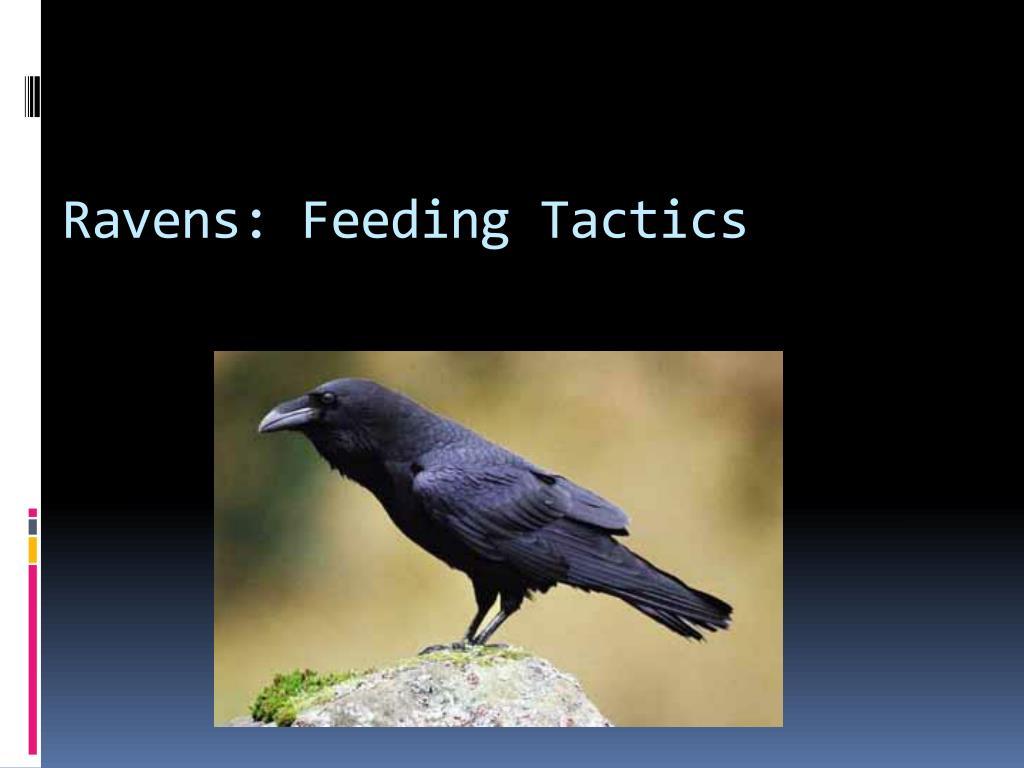 Ravens: Feeding Tactics