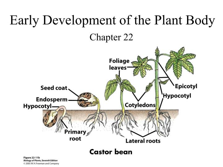 early development of the plant body n.