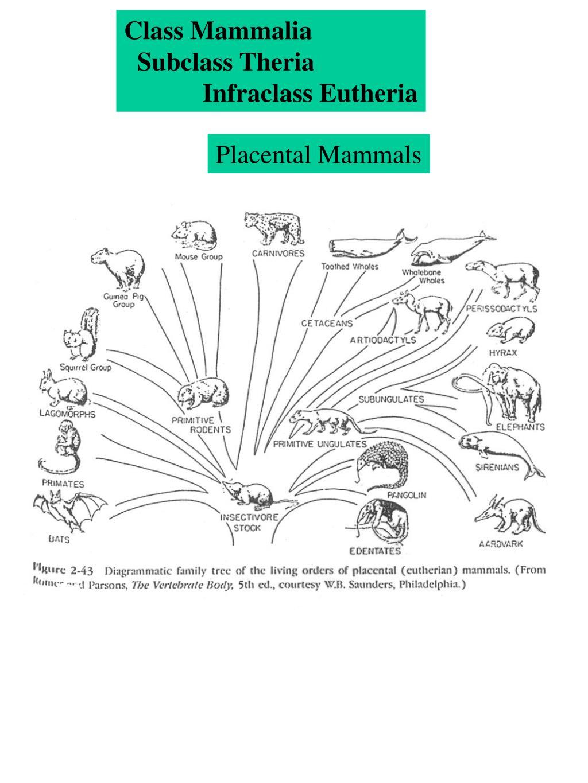 Class Mammalia
