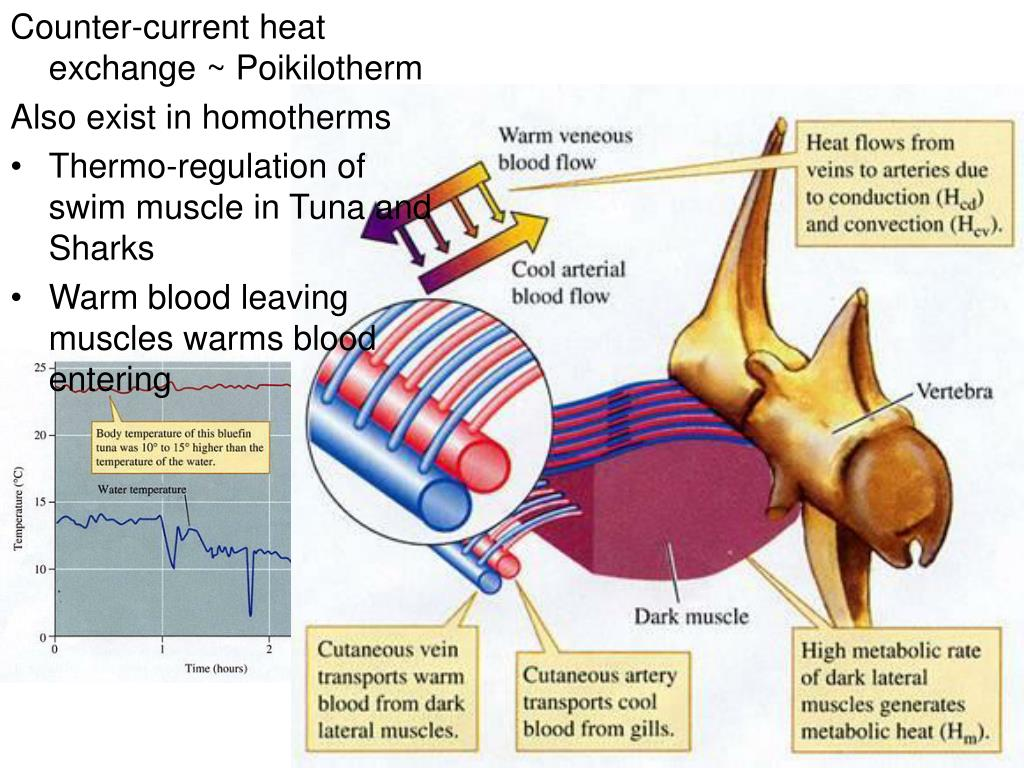 Counter-current heat exchange ~ Poikilotherm
