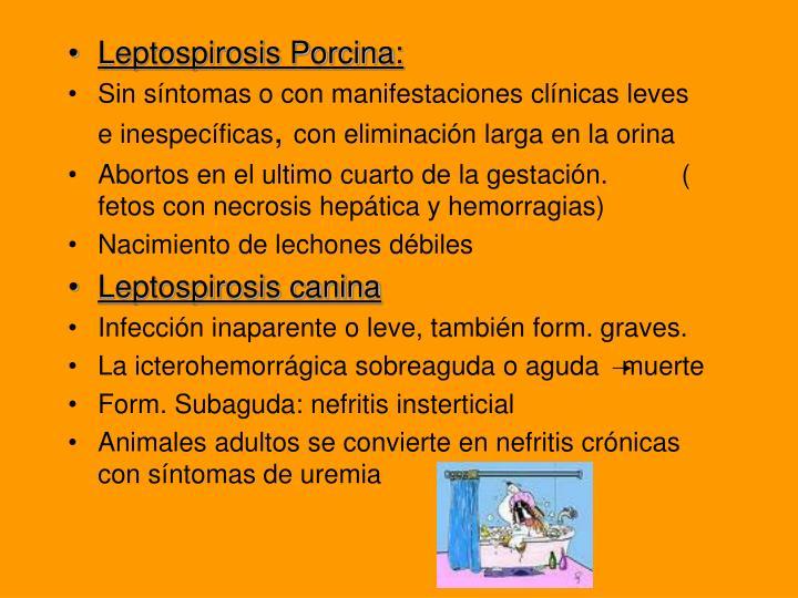 Leptospirosis Porcina: