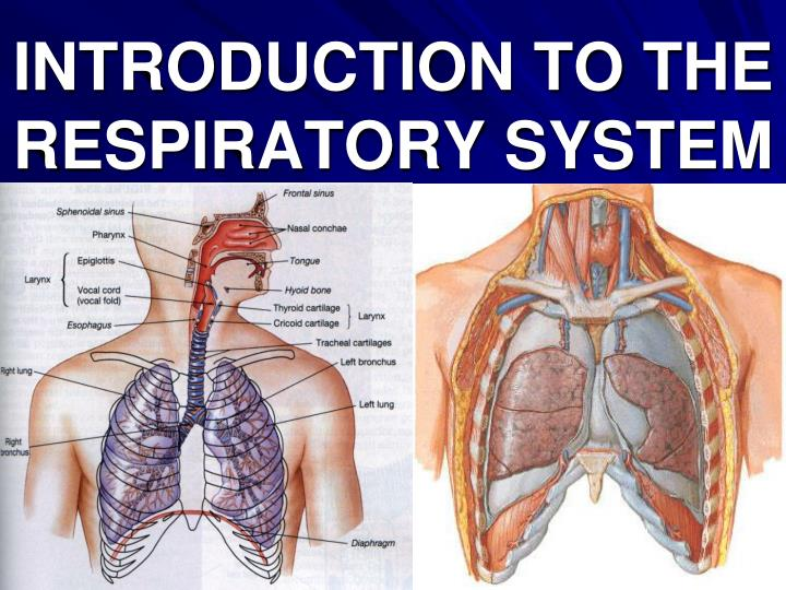 introduction to the respiratory system n.