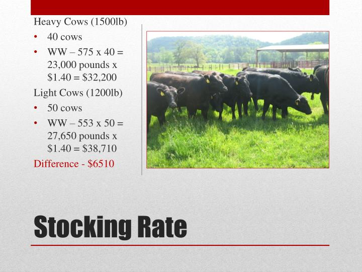 Heavy Cows (1500lb)
