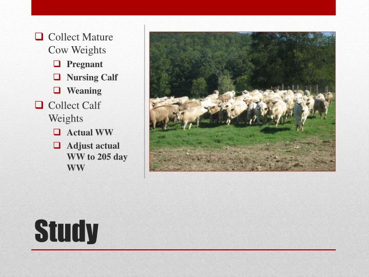 Collect Mature Cow Weights