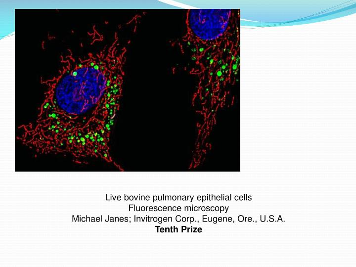 Live bovine pulmonary epithelial cells