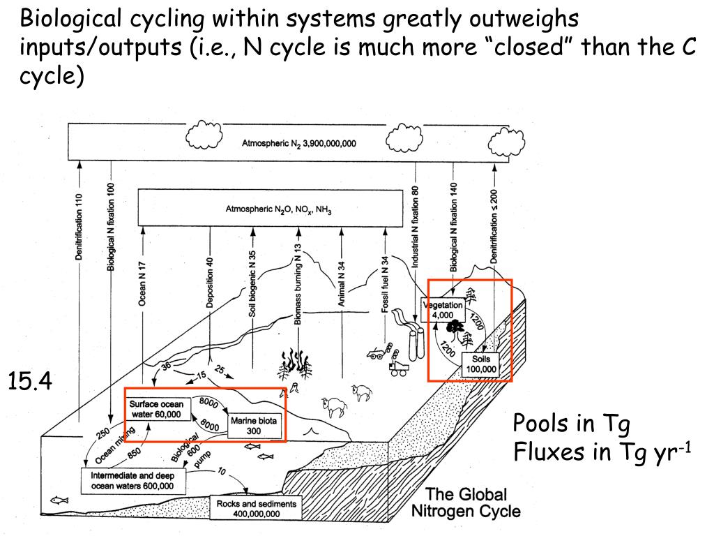"""Biological cycling within systems greatly outweighs inputs/outputs (i.e., N cycle is much more """"closed"""" than the C cycle)"""
