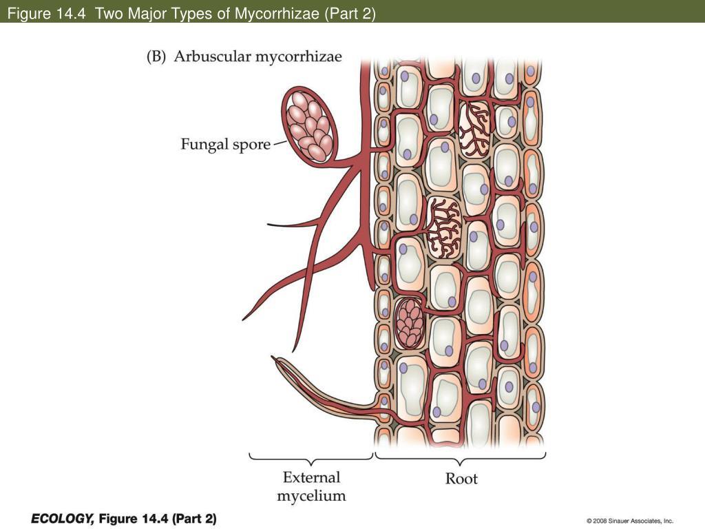 Figure 14.4  Two Major Types of Mycorrhizae (Part 2)