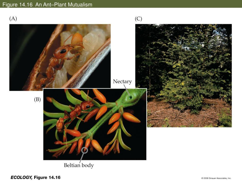 Figure 14.16  An Ant–Plant Mutualism