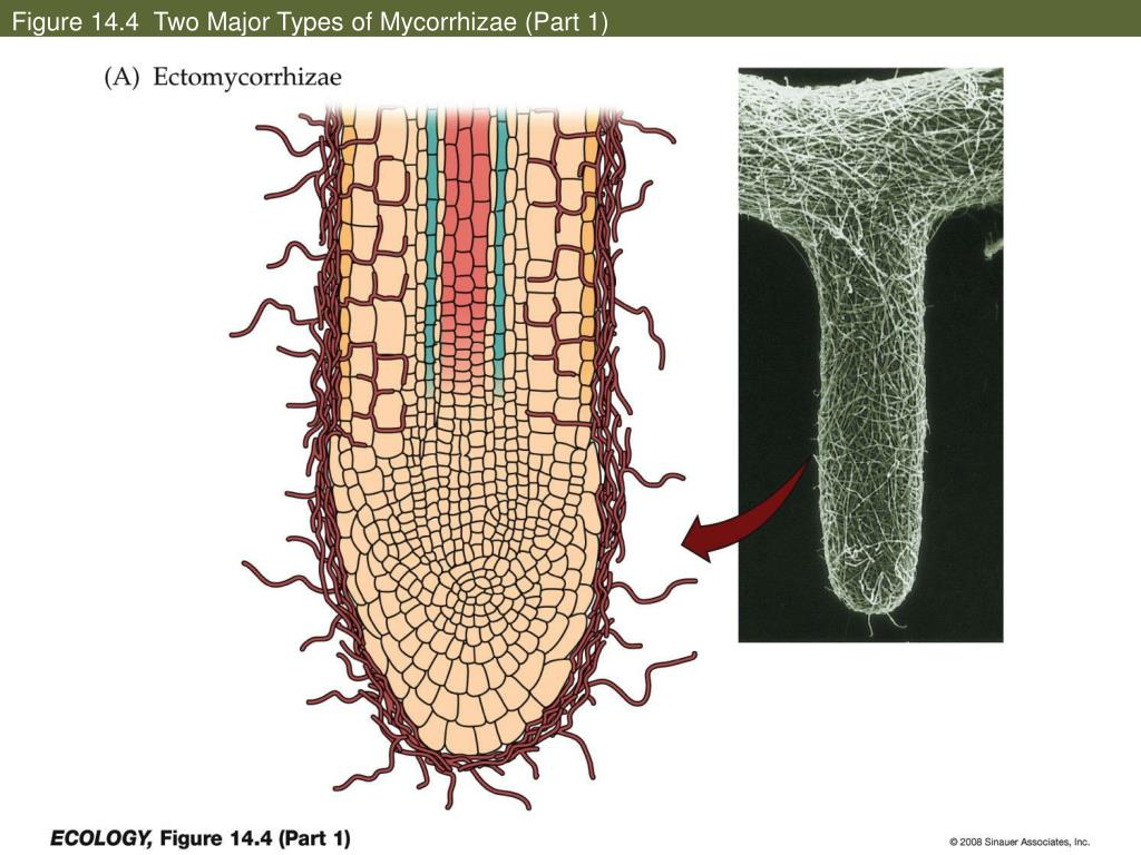 Figure 14.4  Two Major Types of Mycorrhizae (Part 1)