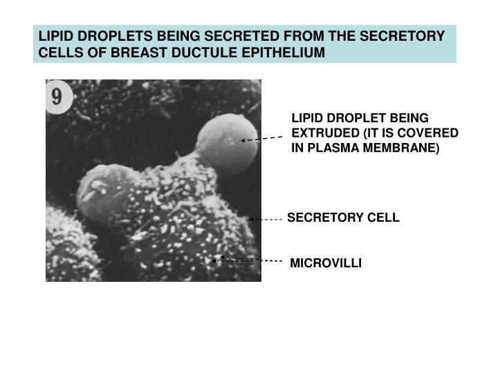 LIPID DROPLETS BEING SECRETED FROM THE SECRETORY CELLS OF BREAST DUCTULE EPITHELIUM