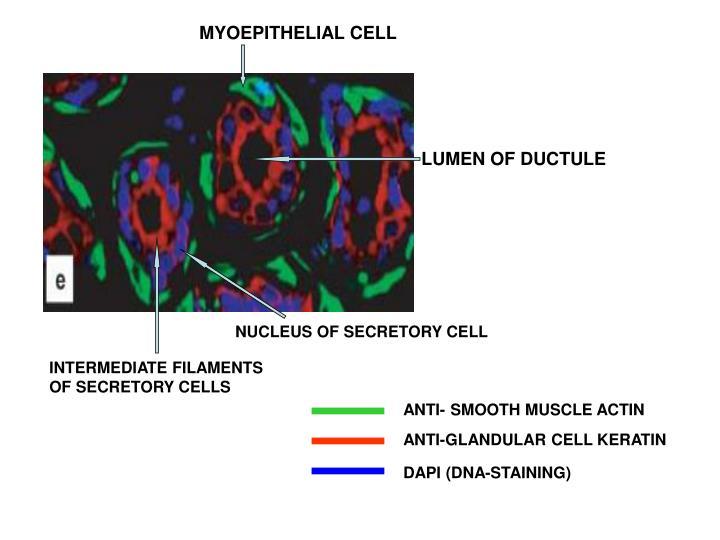 MYOEPITHELIAL CELL