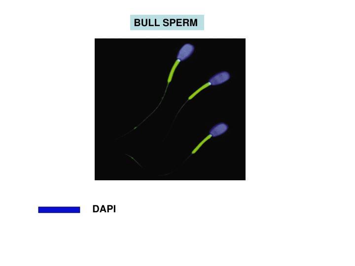 BULL SPERM