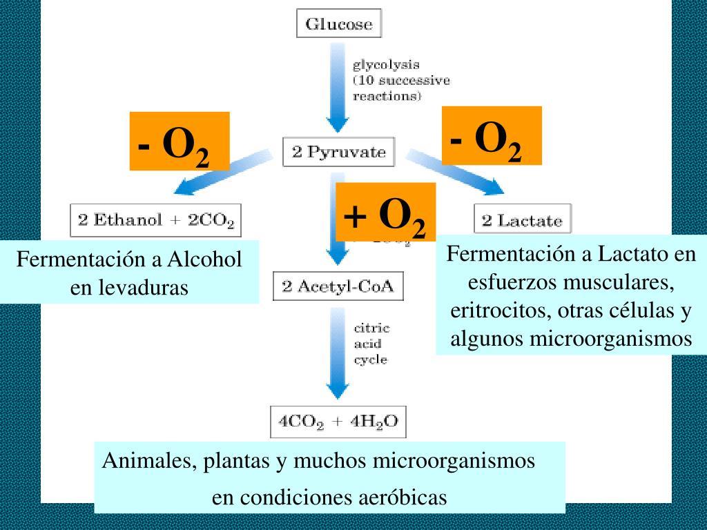 PPT - CICLO DE LOS ACIDOS TRICARBOXILICOS PowerPoint..