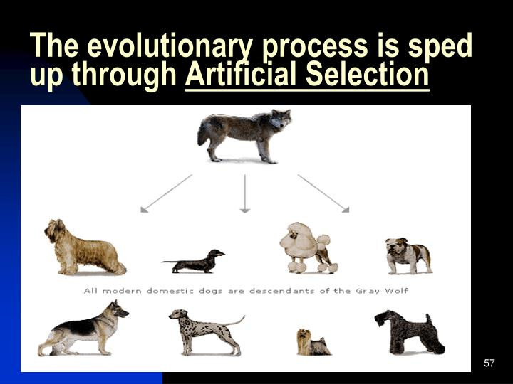 The evolutionary process is sped up through