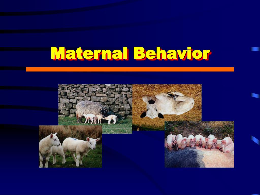 maternal behavior l.