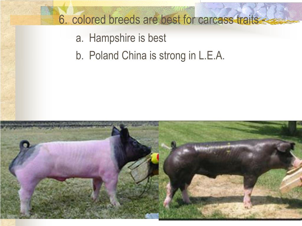 6.	colored breeds are best for carcass traits -