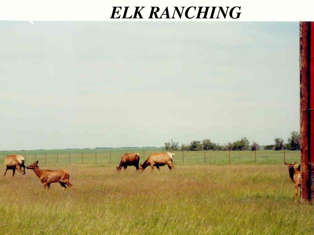 ELK RANCHING