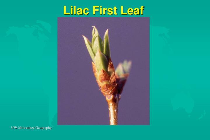 Lilac First Leaf