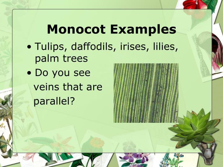 Ppt Flowering Plants Monocot Versus Dicots Powerpoint