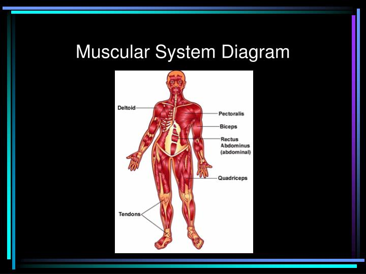 PPT - Skeletal, Muscular & Reproductive Body Systems ...