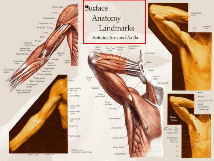 Ppt Upper Limb Muscles Of Arm Cubital Fossa And Elbow Joint