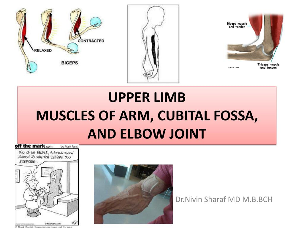 PPT - Upper limb Muscles of Arm, cubital fossa, and elbow joint ...