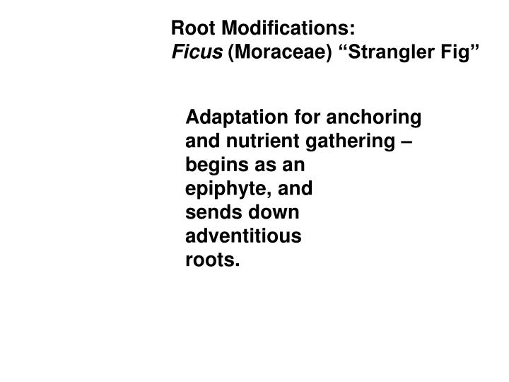 Root Modifications: