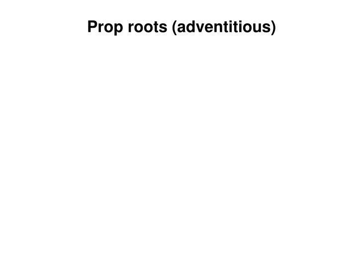Prop roots (adventitious)