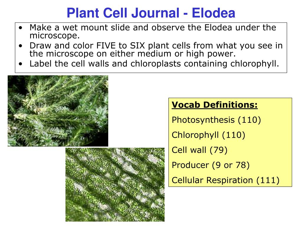 PPT - Plant Cell Journal - Elodea PowerPoint Presentation - ID:1159196