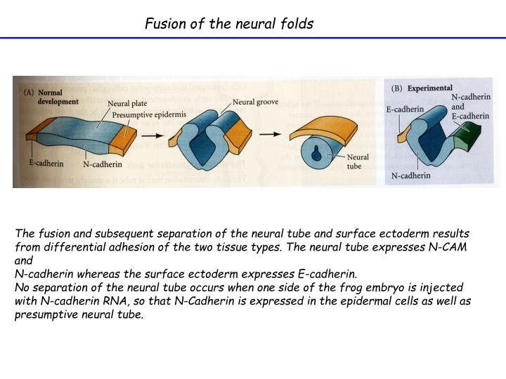Fusion of the neural folds
