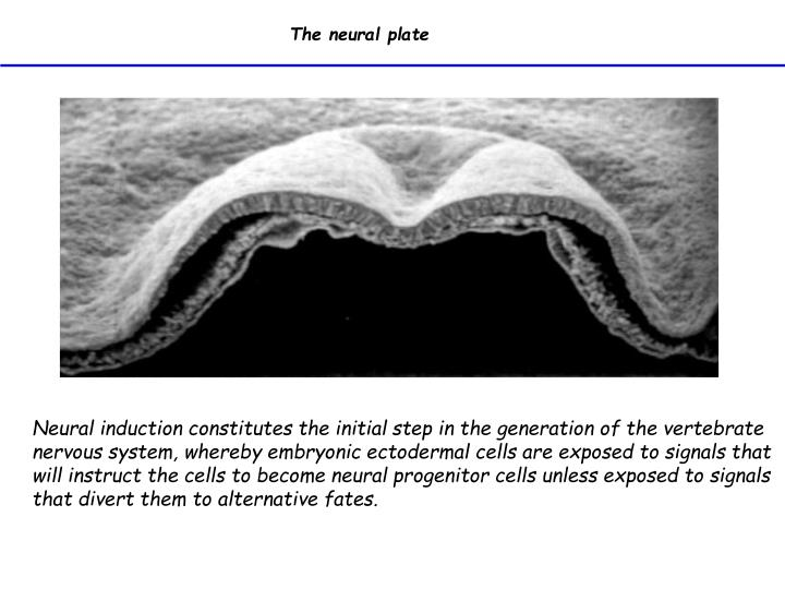 The neural plate
