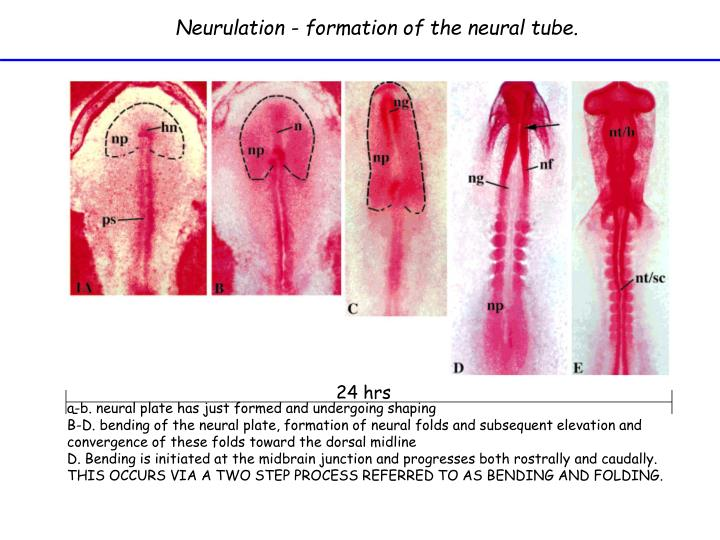 Neurulation - formation of the neural tube.