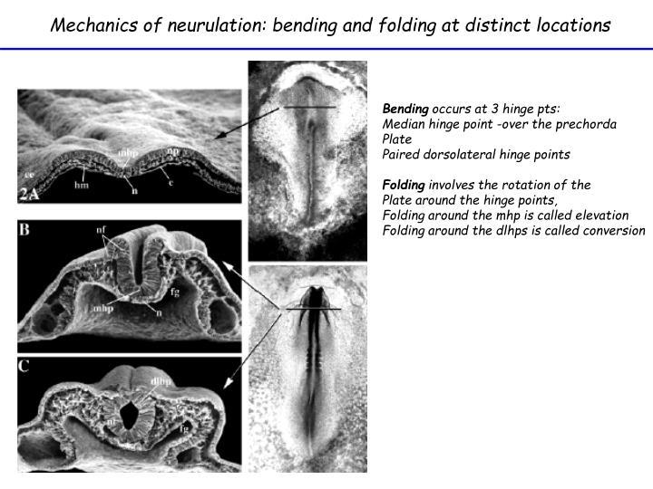 Mechanics of neurulation: bending and folding at distinct locations