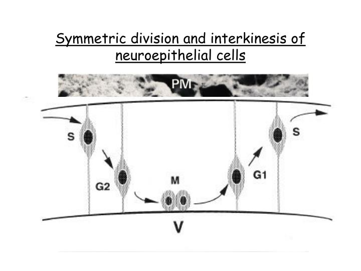 Symmetric division and interkinesis of neuroepithelial cells