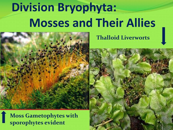division bryophyta mosses and their allies n.