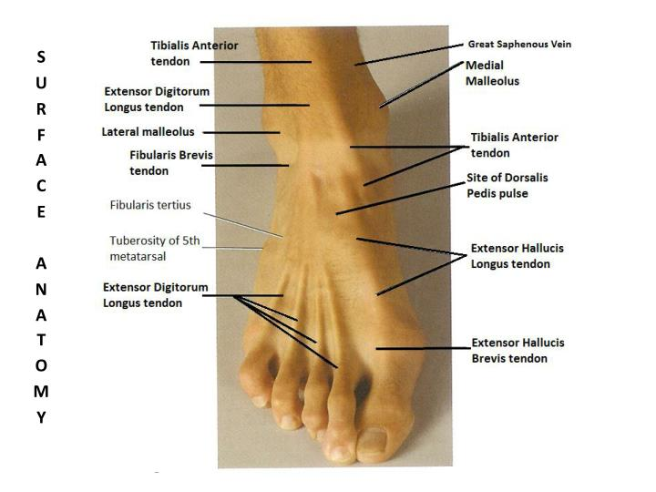 Ppt Bones Of The Foot Ankle Powerpoint Presentation Id1164845
