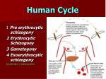 human cycle