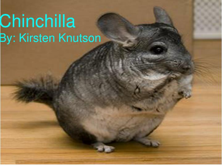 chinchilla n.