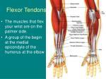 flexor tendons
