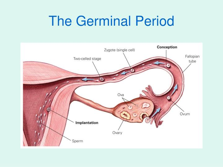 deverlopment period Critical periods of canine development  neonatal period (birth to 12 days) the neonatal period, from birth to 12 days of age, is devoted to two functions:.