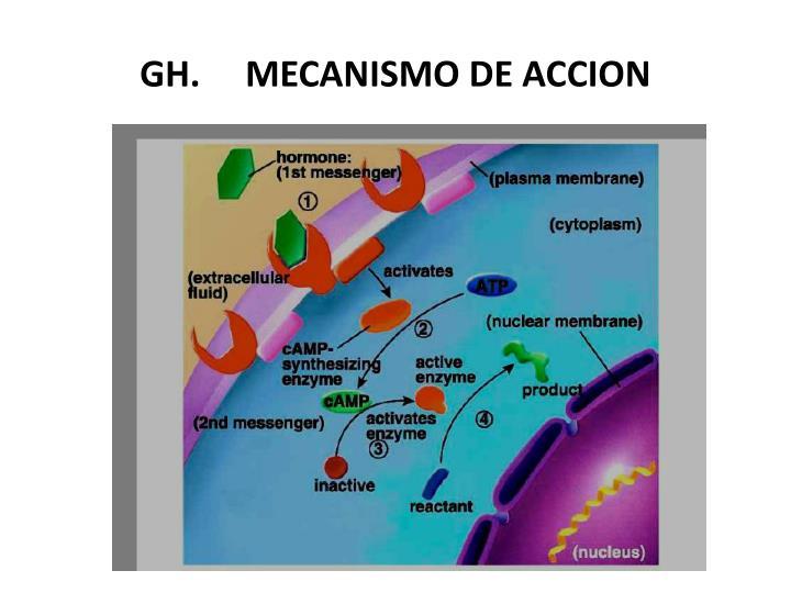 GH.     MECANISMO DE ACCION