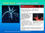 giant squid caught in action in 2007