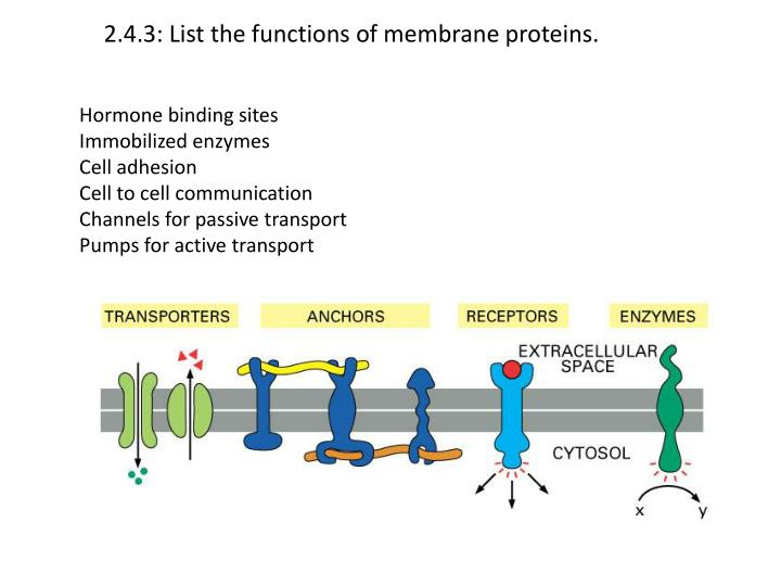 2 4 3 list the functions of membrane proteins n.