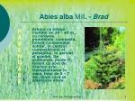 abies alba mill brad