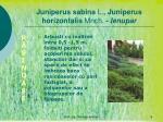 juniperus sabina l juniperus horizontalis mnch ienupar
